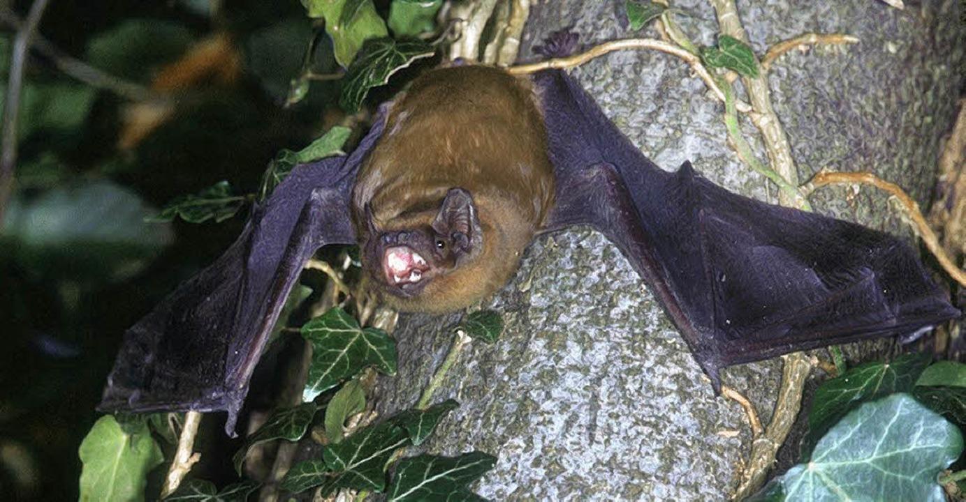 Der Abendsegler gehört zu den Flederma...inden sich die Tiere im Winterschlaf.   | Foto: Naturschutzbund