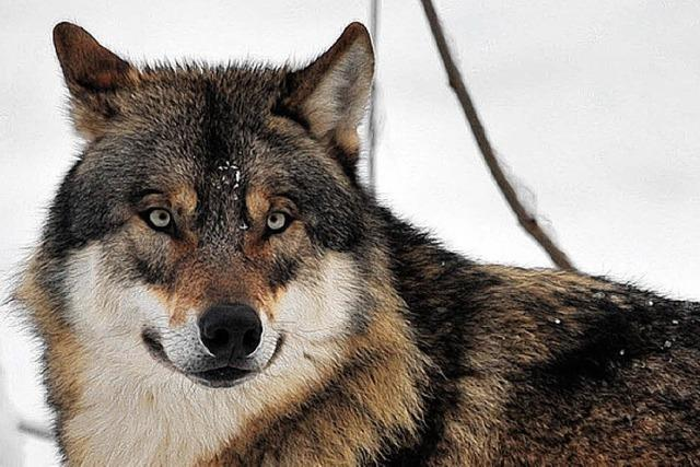 Zoo erschießt schlaue Wölfe