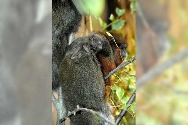 Erstmals Geburt bei seltenen Sumpfspringaffen im Zoo Basel