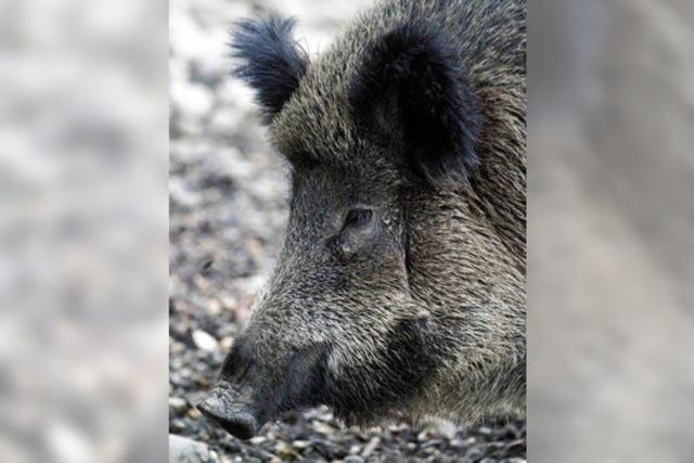 Die Schweinerei wird platt gemacht
