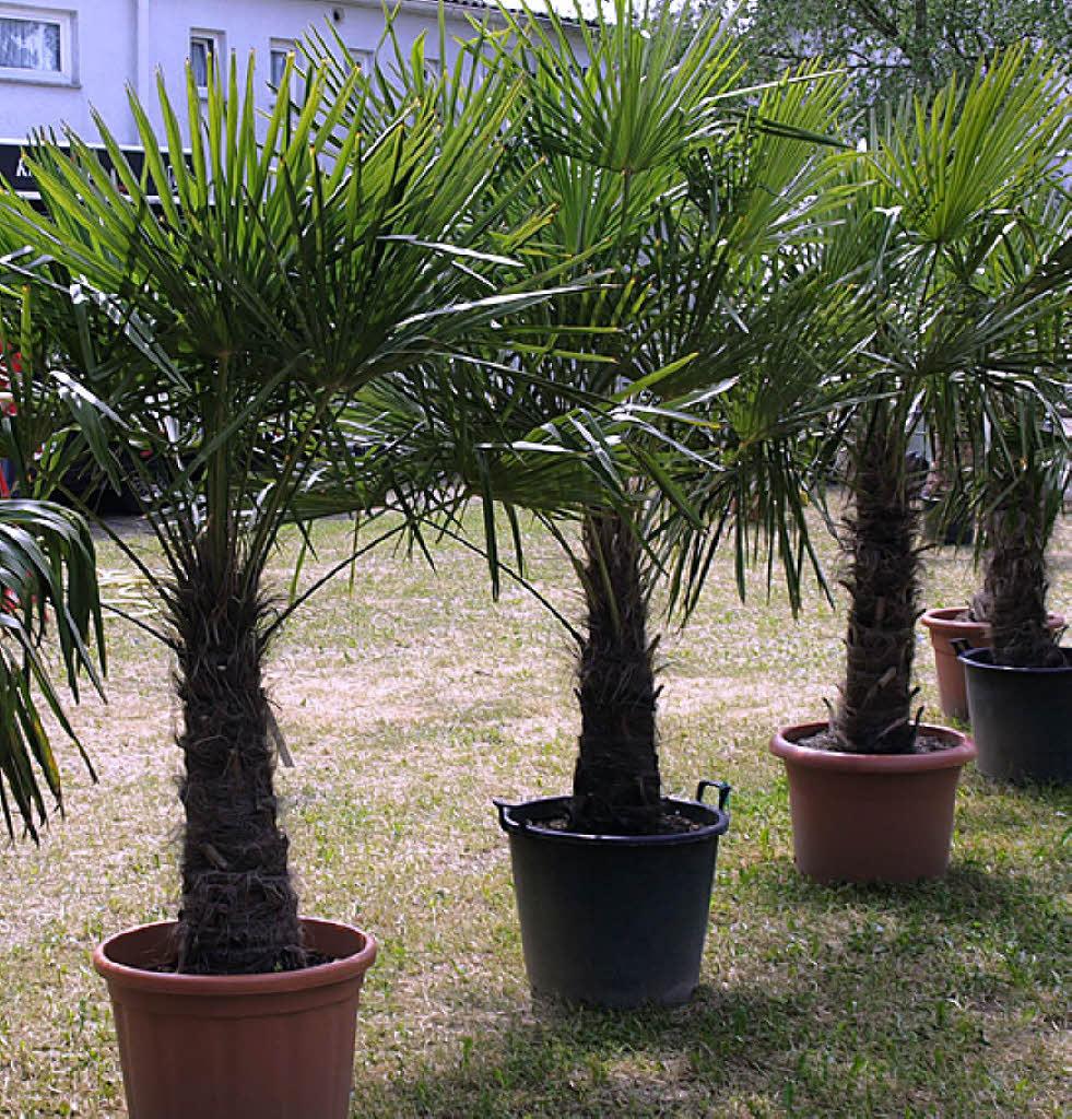 palmen winterhart palmen winterhart baumschule karl schneider pflanzen winterharte palme 180. Black Bedroom Furniture Sets. Home Design Ideas