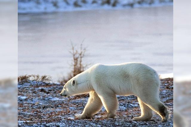 Kein Platz für Eisbären