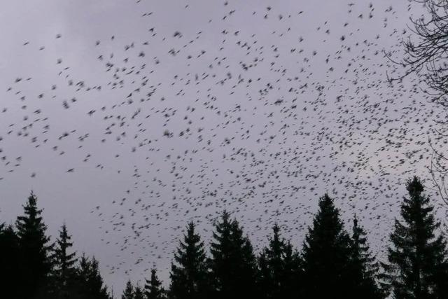 Millionen von Finken locken Schaulustige in den Hotzenwald