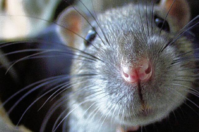 Ratten knabbern Ampelanlagen an