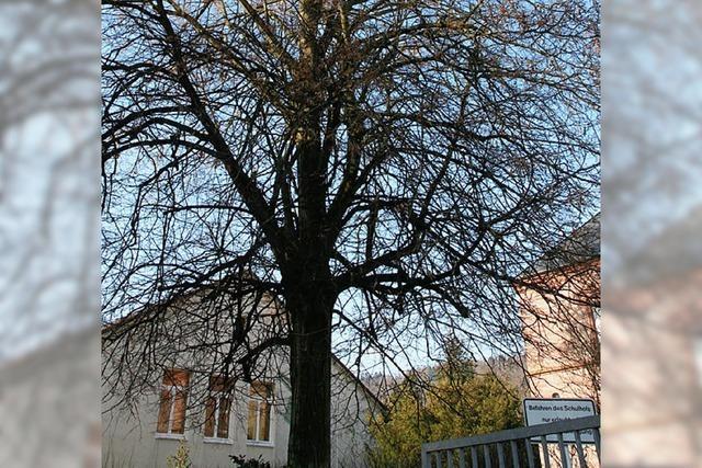 Kirchlicher Baumbestand wird gelichtet