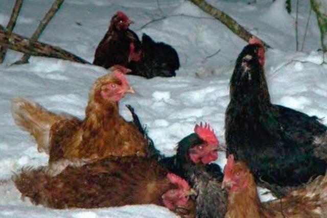Unbekannte setzen Hühner im Schnee aus