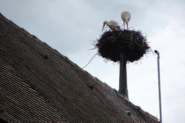 Experte: Störche haben eine enge Bindung zu ihrem Nest