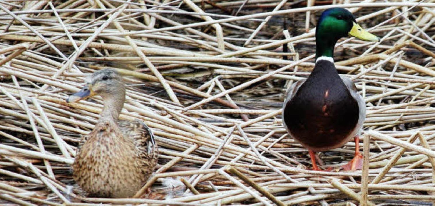 Zwei Enten im Biotop in der Nähe der geplanten Lagune.   | Foto: Ralf Staub