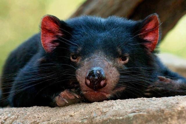 Wird der Tasmanische Teufel gerettet?