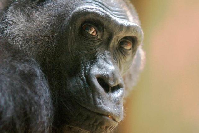 Trauer im Basler Zoo – Gorilla Kati ist tot