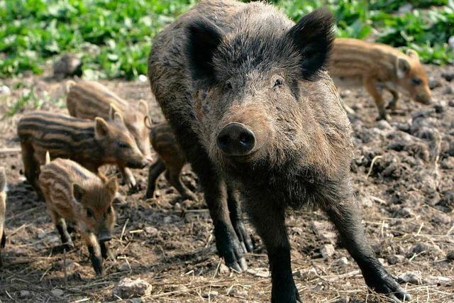 Zahl der Wildschweine als Problem
