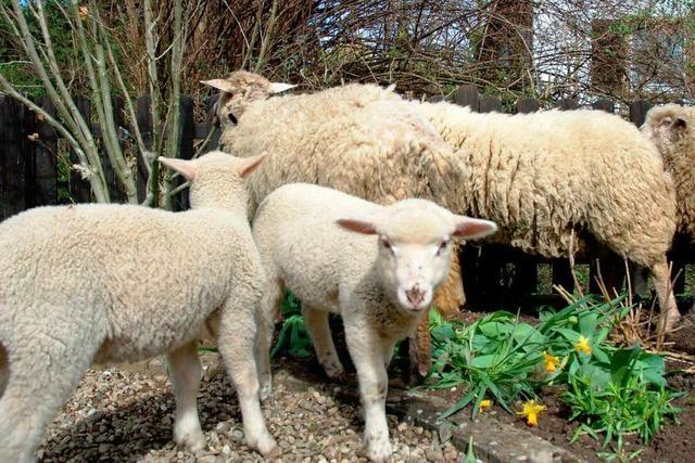 Entlaufene Schafe machen Freiburger Gärten unsicher
