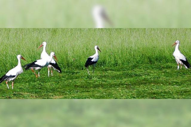 SOS-Weißstorch wieder im Aufwind