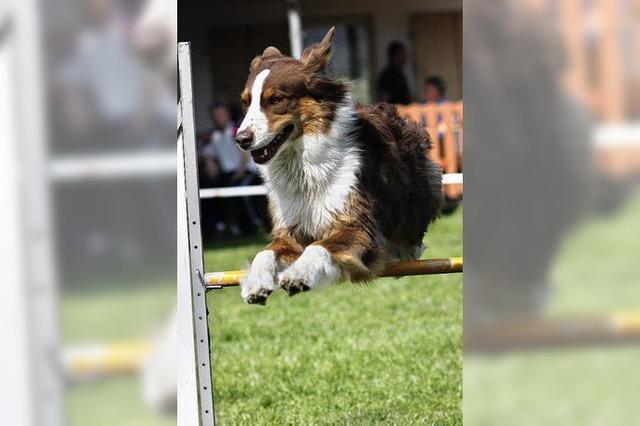 Hunde flitzen über alle Hindernisse