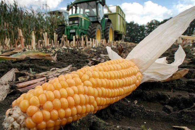 Importiertes Saatgut mit Gen-Mais verunreinigt