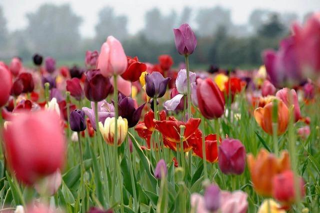 Tulpendiebe auf frischer Tat ertappt