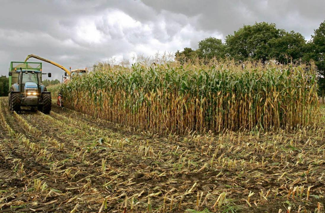 Auch aus Maissilage kann Biogas hergestellt werden  | Foto: dpa