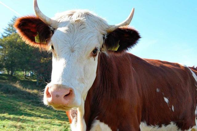 Mutterinstinkt – Kuh tötet Schweizer Bäuerin