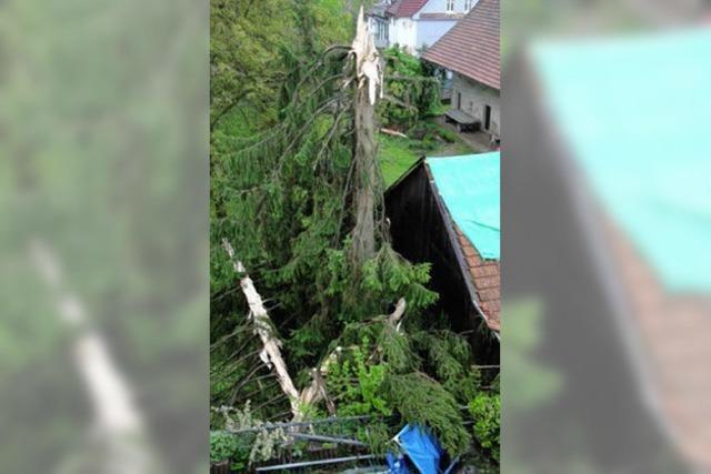 Blitzschlag spaltet 90 Jahre alte Fichte