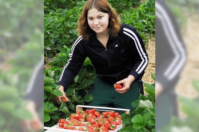 Erdbeersaison eröffnet: Aus dem Tunnel frisch auf den Tisch