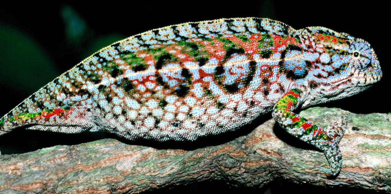 Schön bunt: Eine Eidechse Furcifer lat... Gattung Chamaeleonidae aus Madagaskar  | Foto: dpa