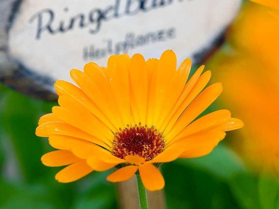 Die Ringelblume – Heilpflanze des Jahres 2009.  | Foto: dpa-tmn