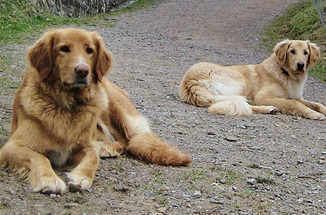 Seit März verschwunden: Hovawart-Hunde Ronja und Anton   | Foto: BZ
