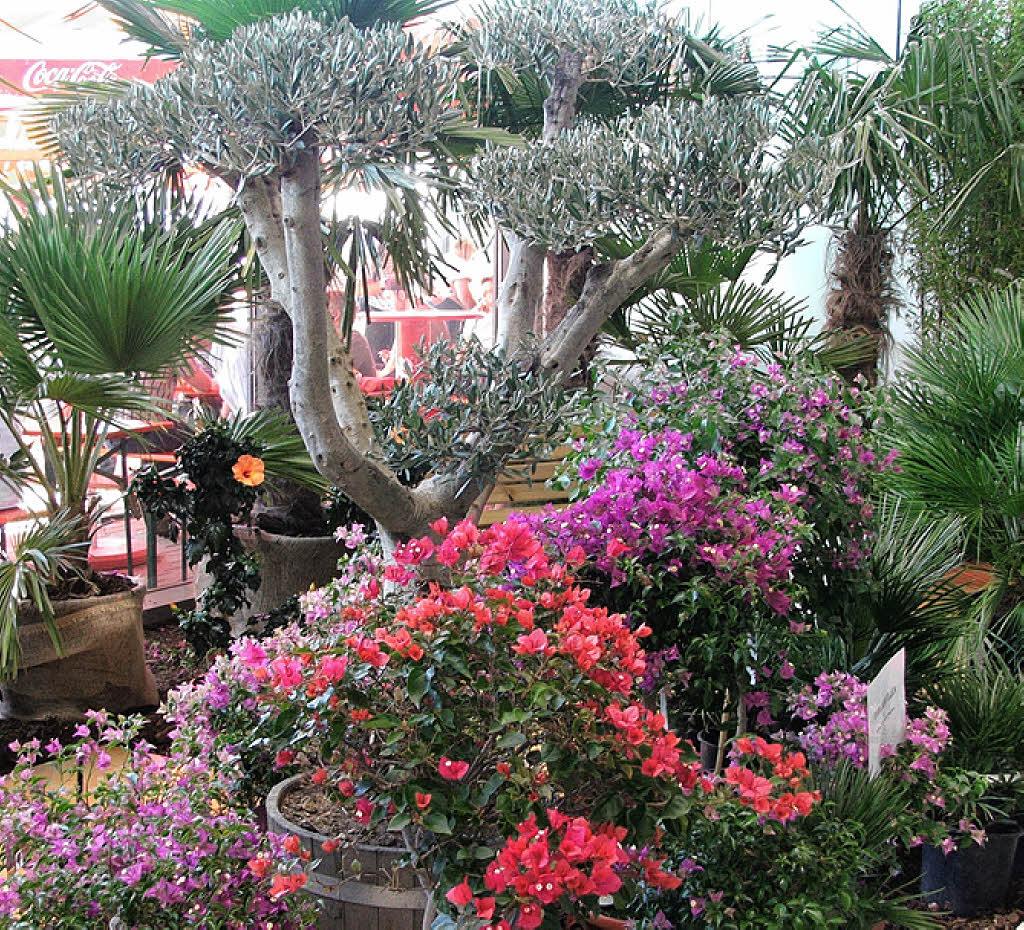 mediterrane pflanzen auf dem sonnenplatz lahr badische zeitung. Black Bedroom Furniture Sets. Home Design Ideas