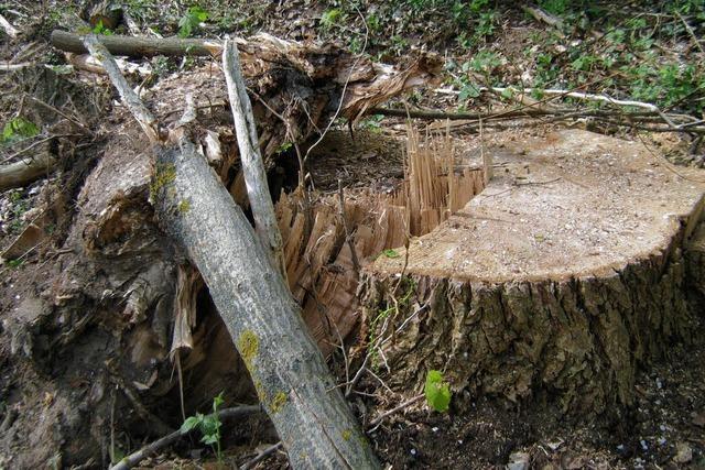 Platz gemacht für robustere Bäume