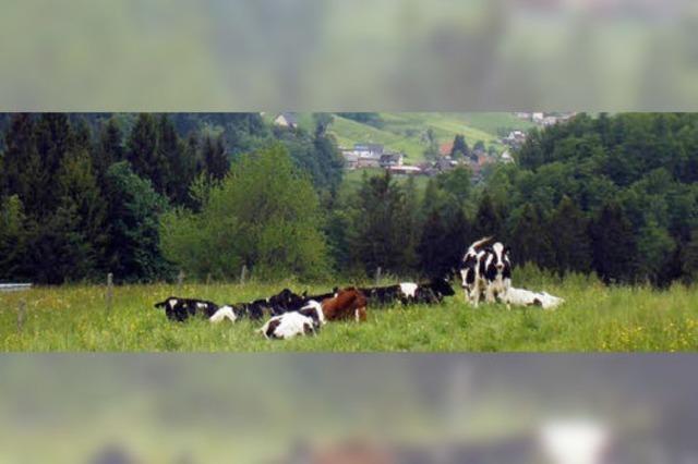 300 Rinder grasen auf den Sommerweiden im Hinteren Kandertal