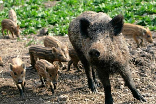 Schweinepest bedroht Wildschweine