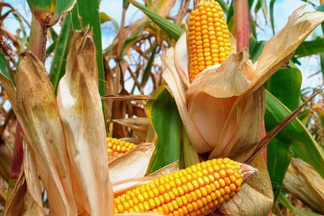 Ministerium: Bauern sollen Gen-Mais vernichten