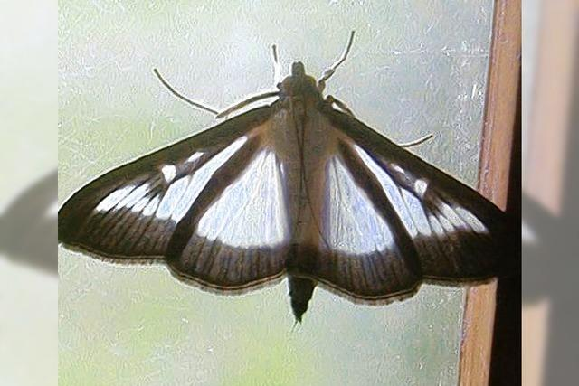 Gefräßige Schmetterlingsraupen bedrohen die Buchspflanzen