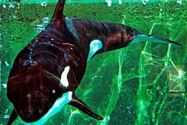 Orca-Weibchen allein im Wattenmeer