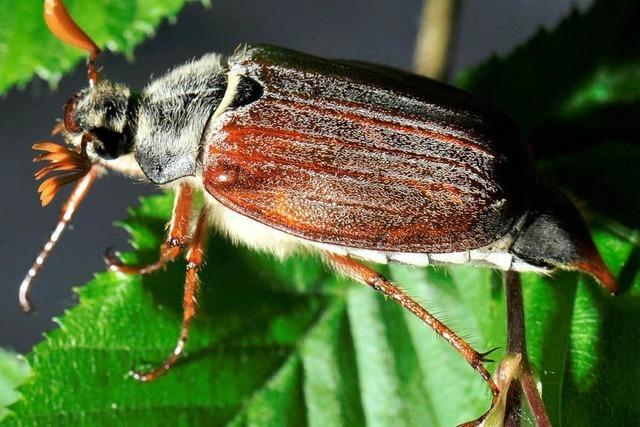 Maikäfer: Süßer Käfer oder Plage?