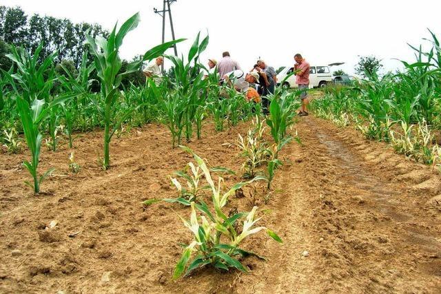 Raupen reduzieren den Ertrag: Neue Debatte um Maisbeize
