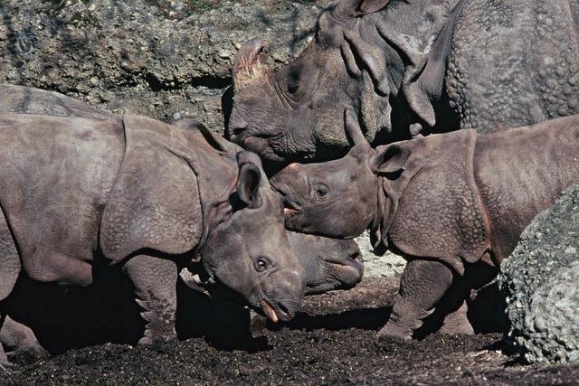 Basler Nashorn-Baby kommt tot zur Welt