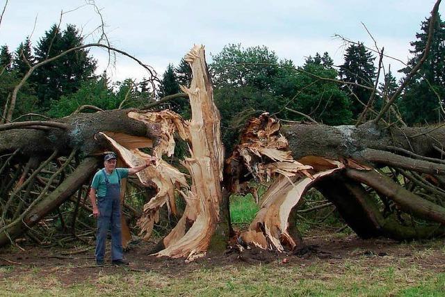 Ende eines Baum-Denkmals: Sturm spaltet 150 Jahre alte Fichte