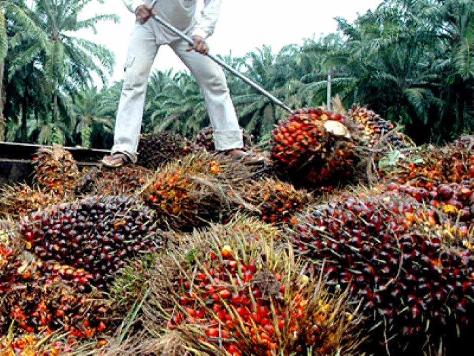 Palmplantagen bringen eine Menge Geld,...aber Gift für die Umwelt (Symbolbild).  | Foto: ImageForum