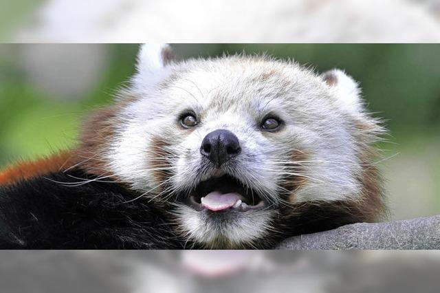 Pandas für die Geburt ausgewildert