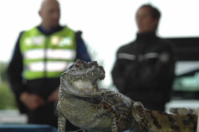 Zöllner finden verbotene Alligatorenköpfe