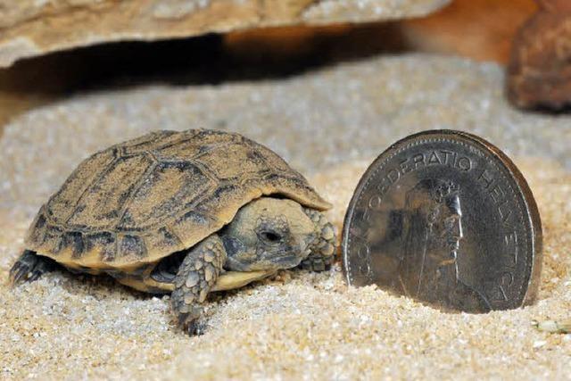 Seltener Zuchterfolg: Minischildkröte schlüpft im Zolli