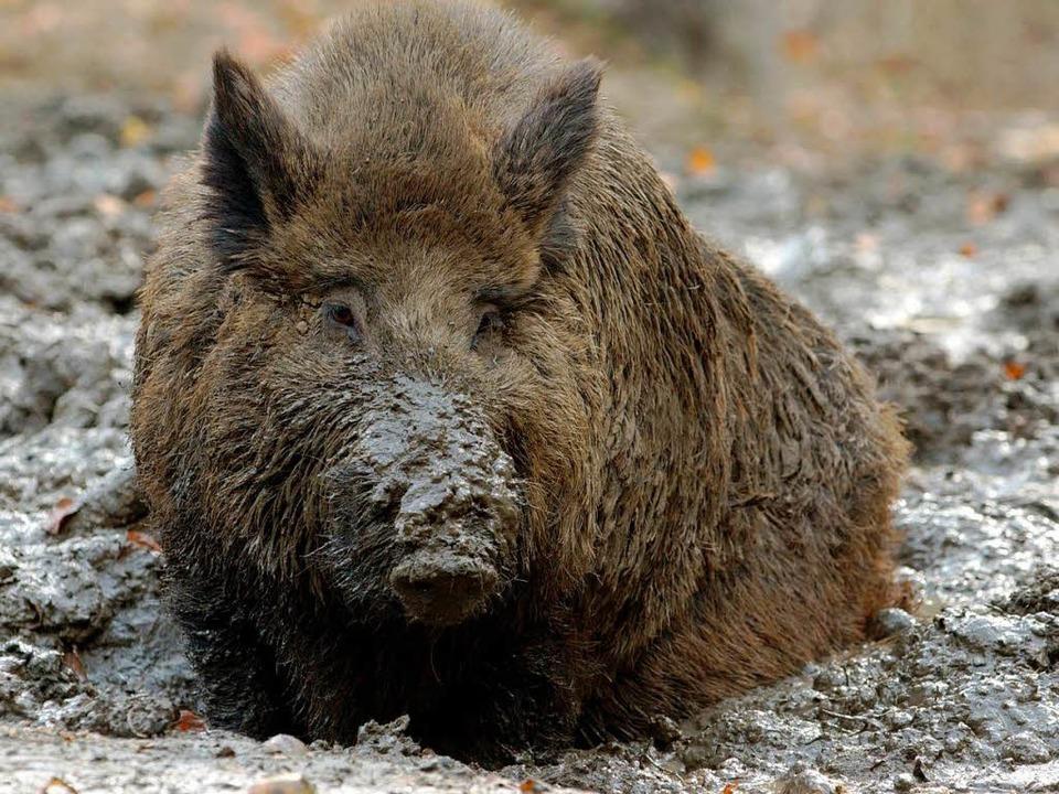 Hungrige Plage: Wildschwein.  | Foto: dpa