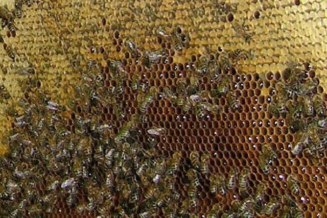 Blick in den Bienenstock beim Ferienprogramm
