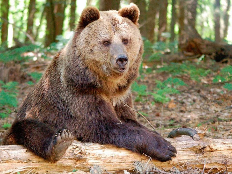 Bärin Sindi kam vor drei Jahren aus dem Schwarzwaldpark nach Müritz.  | Foto: © VIER PFOTEN