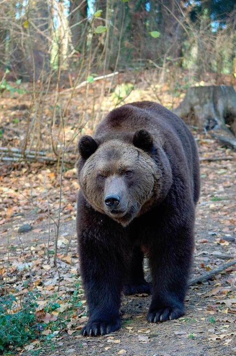 Der Braunbär ist im Stehen gut zwei Me...ix aus Löffingen nach Müritz gekommen.  | Foto: © VIER PFOTEN