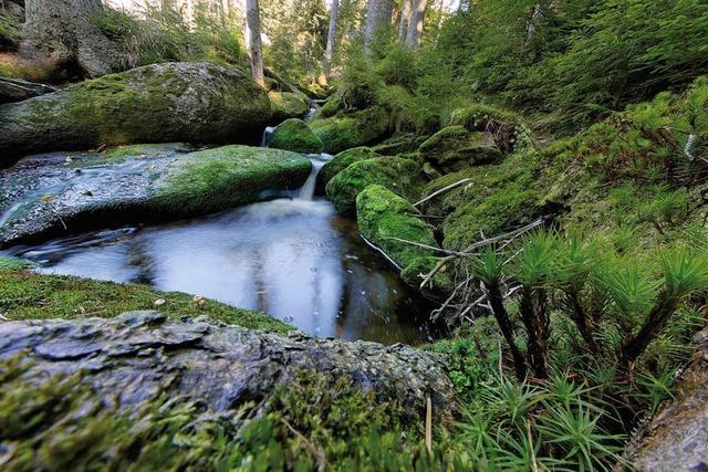 Der Nordschwarzwald soll wilder werden