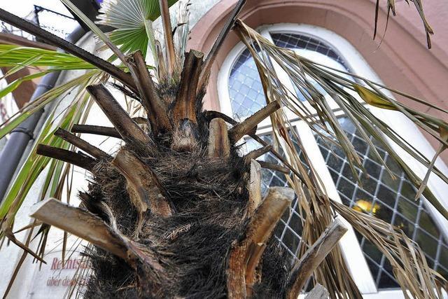 Zündler unter Palmen
