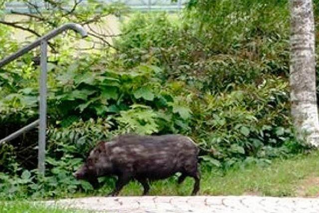 Stress im Markgräflerland: Wildschweine vermehren sich wie wild