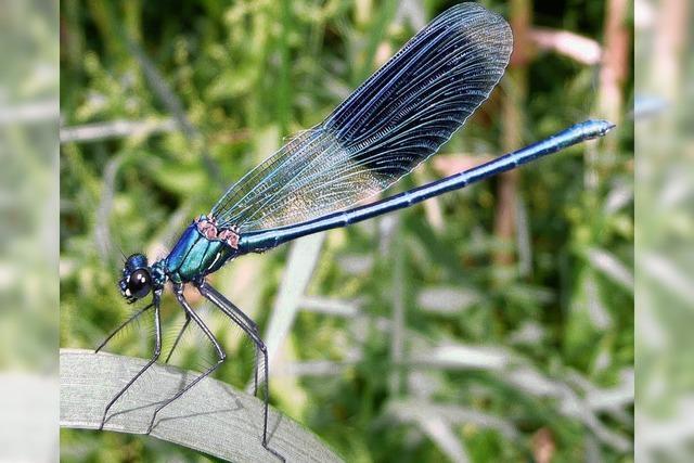 Fürs Fliegen bleibt Libellen nur eine kurze Lebenszeit